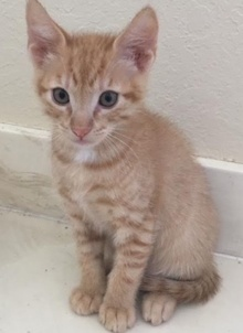 [another picture of Tony, a Domestic Short Hair orange\ cat]