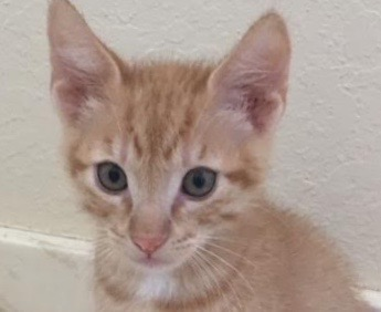 [picture of Tony, a Domestic Short Hair orange\ cat]