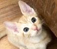 A picture of #ET02283: Bobbie a Domestic Short Hair orange