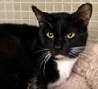 A picture of #ET02285: Essex a Domestic Short Hair black/white