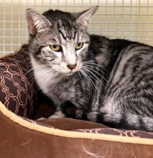 [another picture of Caroline, a Domestic Short Hair silver tabby/white\ cat]