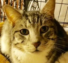 [picture of Caroline, a Domestic Short Hair silver tabby/white\ cat]