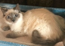 [another picture of Malia, a Himalayan blue point\ cat]