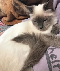 [picture of Malia, a Himalayan blue point cat]