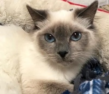 [picture of Malia, a Himalayan blue point\ cat]