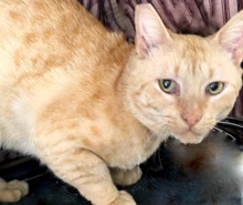 [picture of Sweet Potato, a Domestic Short Hair orange male\ cat]