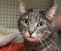 A picture of #ET02289: Mr Jedi a Domestic Medium Hair silver tabby