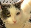 A picture of #ET02291: Gyllia a Turkish Van Mix white/blue