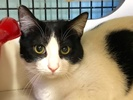 A picture of #ET02292: Taco a Domestic Short Hair white/black