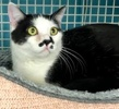 A picture of #ET02296: Mustache a Domestic Short Hair white/black