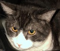 A picture of #ET02297: Ziggy a Domestic Short Hair blue/white