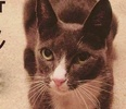 A picture of #ET02298: Sterling a Domestic Short Hair blue/white