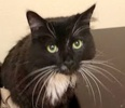 A picture of #ET02299: Boots a Maine Coon-x black/white