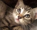A picture of #ET02303: Gracie a Domestic Short Hair tabby/white