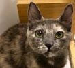 A picture of #ET02304: Missy a Domestic Short Hair blue cream