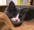 A picture of #ET02306: Charlie a Domestic Medium Hair blue/white