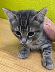 [picture of Tiga, a Domestic Short Hair silver tabby cat]