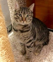 [another picture of Evi-Rose, a Domestic Short Hair brown tabby\ cat]