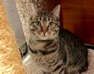 [picture of Evi-Rose, a Domestic Short Hair brown tabby\ cat]