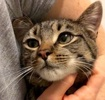 A picture of #ET02310: Ali-Joy a Domestic Short Hair brown tabby