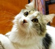 A picture of #ET02311: Cupcake a Domestic Long Hair calico
