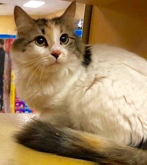 [picture of Cupcake, a Domestic Long Hair calico cat]