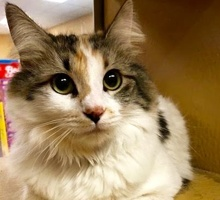 [picture of Cupcake, a Domestic Long Hair calico\ cat]