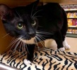A picture of #ET02312: Frankie a Domestic Short Hair black/white tuxedo