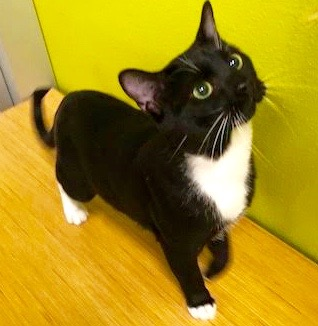 [another picture of Frankie, a Domestic Short Hair black/white tuxedo\ cat]
