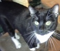 [picture of Frankie, a Domestic Short Hair black/white tuxedo cat]