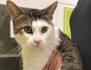 A picture of #ET02314: Solo a Domestic Short Hair white/brown tabby
