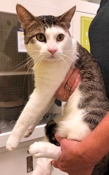 [another picture of Solo, a Domestic Short Hair white/brown tabby\ cat]