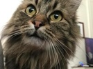 A picture of #ET02315: Annie a Ragdoll Mix brown tabby