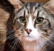 A picture of #ET02316: Zillo a Maine Coon-x brown tabby/white