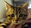 A picture of #ET02317: Styx a Domestic Short Hair gray tabby