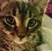 A picture of #ET02318: Journey a Domestic Short Hair gray marble tabby