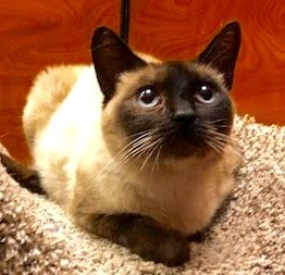 [another picture of Rosarita, a Siamese seal point\ cat]