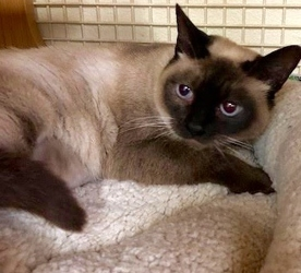 [picture of Rosarita, a Siamese seal point cat]