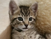 [picture of Ross, a Domestic Short Hair tabby\ cat]
