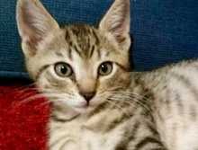 [picture of Joey, a Domestic Short Hair tabby\ cat]