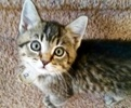 A picture of #ET02324: Chandler a Domestic Short Hair tabby