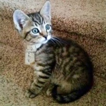[another picture of Chandler, a Domestic Short Hair tabby\ cat]