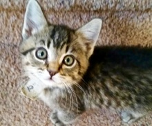 [picture of Chandler, a Domestic Short Hair tabby\ cat]
