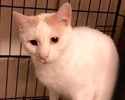 A picture of #ET02326: Snowy a Turkish Van Mix white/orange