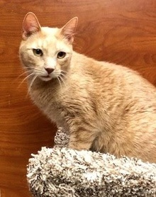 [another picture of Brando, a Domestic Short Hair orange\ cat]