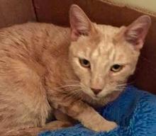 [picture of Brando, a Domestic Short Hair orange\ cat]