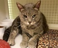 A picture of #ET02328: Crystal a Domestic Short Hair silver