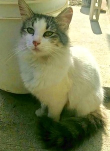 [another picture of Alejandro, a Turkish Van Mix white/black\ cat]