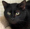 A picture of #ET02331: Binx a Domestic Medium Hair black