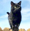 [picture of Binx, a Domestic Medium Hair black cat]